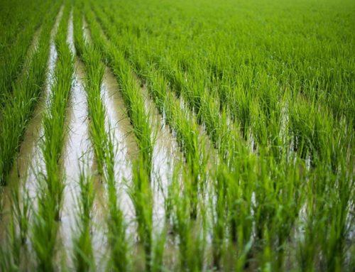 Аграрии Краснодарского края приступили к севу риса